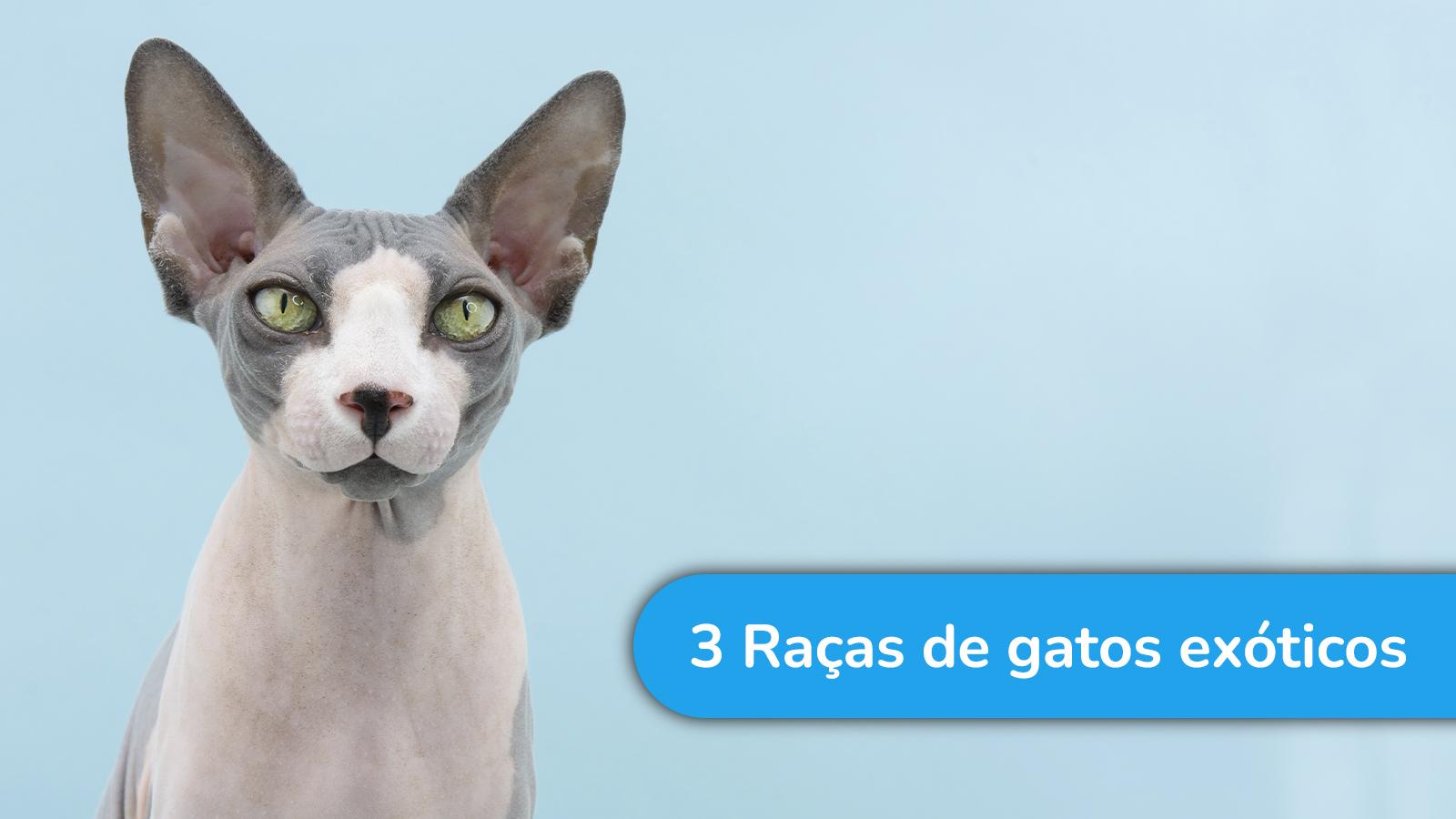 3 Raças de gatos exóticos