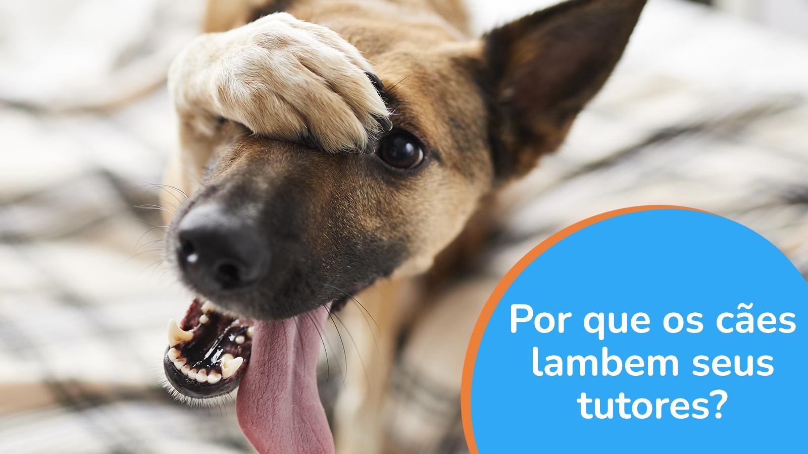 Por que os cães lambem seus tutores?